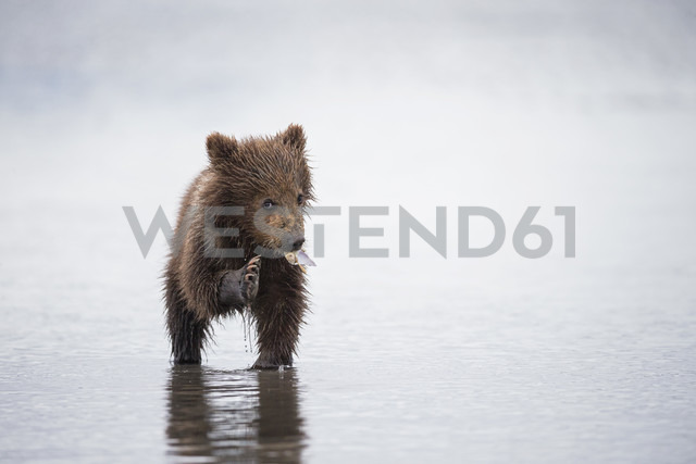 USA, Alaska, Lake Clark National Park and Preserve, Brown bear cub (Ursus arctos) eating a mussel - FOF006257 - Fotofeeling/Westend61