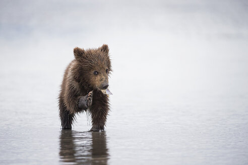 USA, Alaska, Lake Clark National Park and Preserve, Brown bear cub (Ursus arctos) eating a mussel - FOF006257