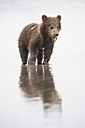 USA, Alaska, Lake Clark National Park and Preserve, Brown bear cub (Ursus arctos) eating a mussel - FO006258