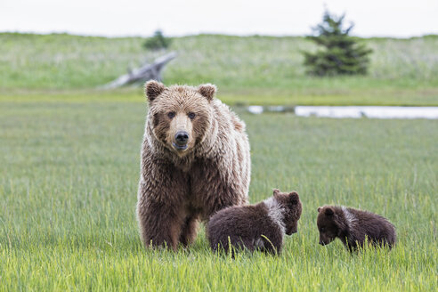 USA, Alaska, Lake Clark National Park and Preserve, Brown bear with cubs - FOF006306