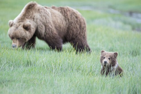 USA, Alaska, Lake Clark National Park and Preserve, Brown bear with cubs - FOF006311
