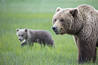 USA, Alaska, Lake Clark National Park and Preserve, Brown bear with cubs - FOF006317