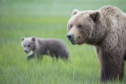 USA, Alaska, Lake Clark National Park and Preserve, Brown bear with cubs - FOF006317