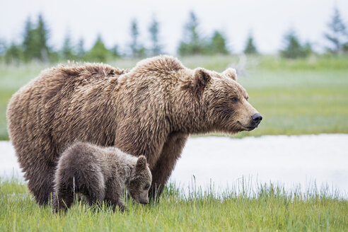 USA, Alaska, Lake Clark National Park and Preserve, Brown bear with cubs - FO006323