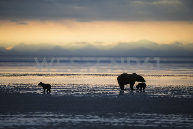 USA, Alaska, Lake Clark National Park and Preserve, Brown bear with cubs searching for mussels in lake - FOF006325