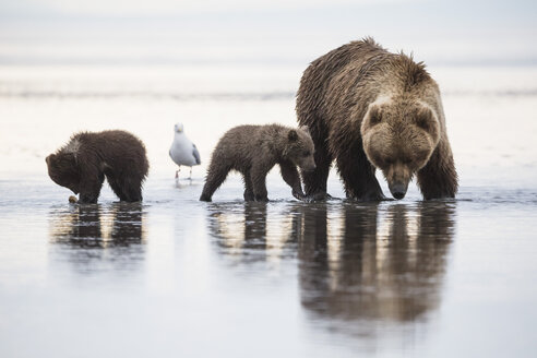 USA, Alaska, Lake Clark National Park and Preserve, Brown bear with cubs searching for mussels in lake - FOF006327