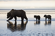 USA, Alaska, Lake Clark National Park and Preserve, Brown bear with cubs searching for mussels in lake - FOF006329