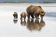 USA, Alaska, Lake Clark National Park and Preserve, Brown bear with cubs searching for mussels in lake - FO006330