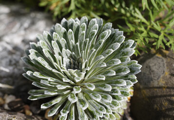 Germany, Bavaria, Saxifraga longifolia - SIEF005142
