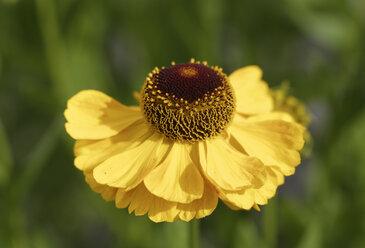 Germany, Bavaria, Sneezeweed in garden (Helenium Hybride 'El Dorado') - SIEF005143