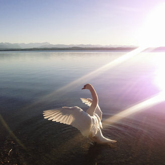 Swan in backlight, Lake Starnberg, Ambach, Bavaria, Germany - GSF000777