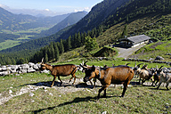 Germany, Bavaria, Mangfallgebirge, Goats at the Geitauer Alm - LB000619