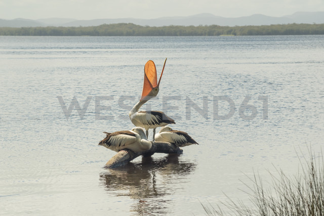 Australia, New South Wales, Myall Lakes National Park, groupf of three pelicans (Pelecanus conspicillatus) - FBF000276 - Frank Blum/Westend61