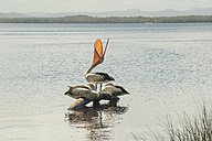 Australia, New South Wales, Myall Lakes National Park, groupf of three pelicans (Pelecanus conspicillatus) - FBF000276