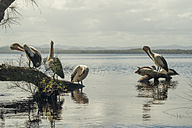 Australia, New South Wales, Myall Lakes National Park, groupf of pelicans (Pelecanus conspicillatus) - FBF000270