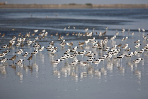 Oman, Bar al Hikman, Crab plovers in water - ZC000060