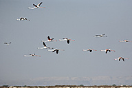 Oman, Flying flock of red flamingos - ZC000062