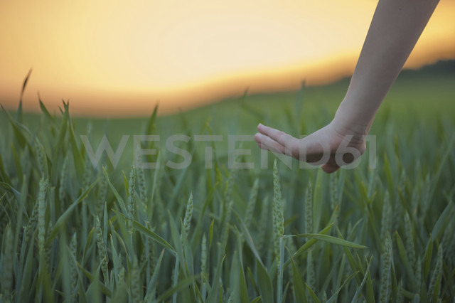 Germany, Rhineland-Palatinate, Hand touching wheat field in early summer - PAF000560 - Andreas Pacek/Westend61