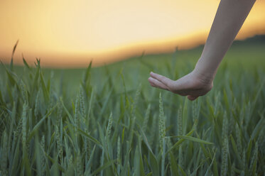 Germany, Rhineland-Palatinate, Hand touching wheat field in early summer - PAF000560