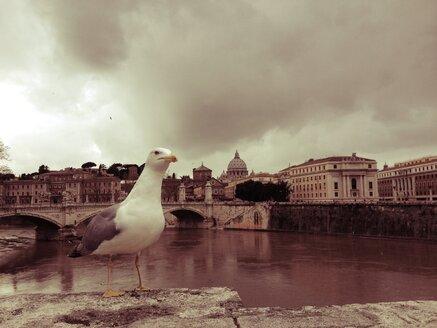 Seagull, Vatican, Rome, Italy - RIMF000172