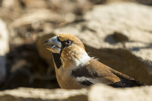 Germany, Hesse, Bad Soden-Allendorf, Hawfinch, Coccothraustes coccothraustes - SR000385