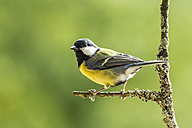 Germany, Hesse, Bad Soden-Allendorf, Great tit perching on branch - SR000431