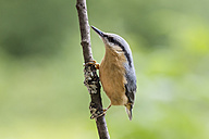 Germany, Hesse, Bad Soden-Allendorf, Eurasian Nuthatch, Sitta europaea, perching on branch - SR000430