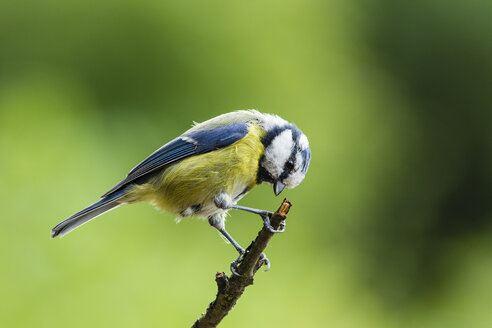 Germany, Hesse, Bad Soden-Allendorf,  Blue tit, Cyanistes caeruleus, perching on branch - SR000428