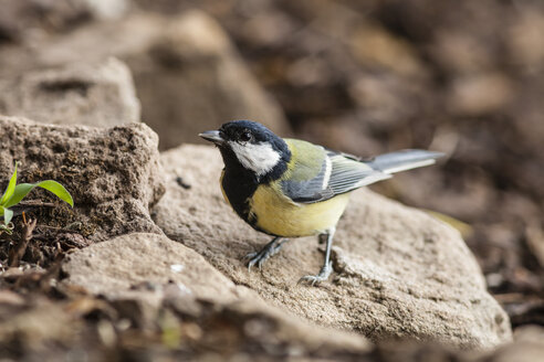 Germany, Hesse, Bad Soden-Allendorf, Great tit on stone - SR000424