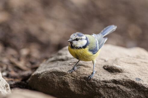 Germany, Hesse, Bad Soden-Allendorf,  Blue tit, Cyanistes caeruleus, perching on stone - SR000422