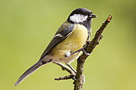 Germany, Hesse, Bad Soden-Allendorf, Great tit perching on branch - SR000418