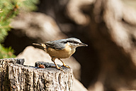 Germany, Hesse, Bad Soden-Allendorf, Eurasian Nuthatch, Sitta europaea, perching on tree bole - SR000416