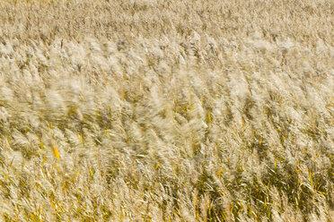 Germany, Fehmarn, Reed in wind - SR000446
