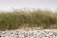 Germany, Fehmarn, Marram grass on dune - SR000452