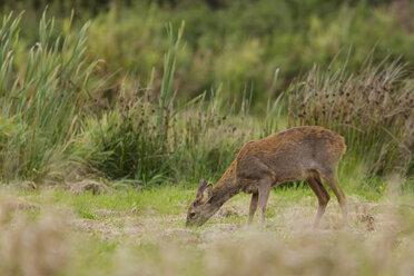 Germany, Niendorf, Roe deer in grass - SR000397