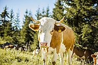 Austria, Gosau, portrait of cow - KVF000090