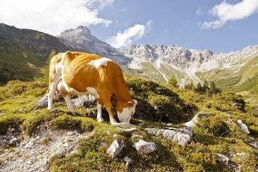 Austria, Lungau, cow in alpine landscape - KVF000092