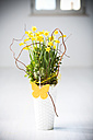 Daffodil (Narcissus pseudonarcissus) in a vase - MAEF008208