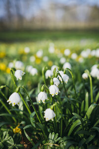 Germany, Baden-Wuerttemberg, Spring Snowflake Flower (Leucojum vernum) on meadow - ELF000918