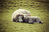 Germany, sheep and lamb lying side by side on pasture - KRPF000379