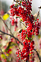 Germany, Hamburg region, Red currants - KRPF000395