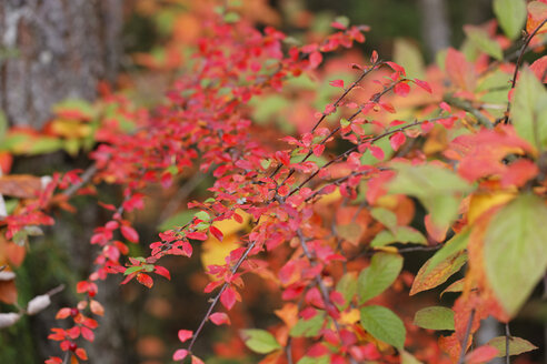 Germany, Bavaria, Cotoneaster horizontalis in autumn - SIEF005172