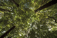 New Zealand, Whitianga, trees - WV000494