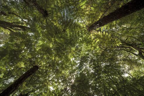 New Zealand, Whitianga, trees - WV000494