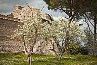 Italy, Tuscany, Volterra, blossoming trees at stone wall - KVF000068