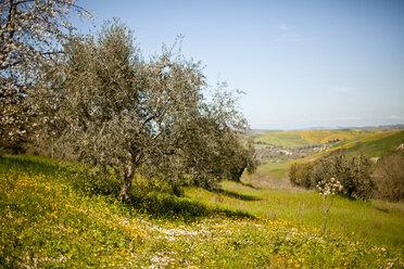 Italy, Tuscany, Volterra, olive tree on meadow - KVF000080
