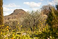 Italy, Tuscany, Volterra, olive grove - KVF000082