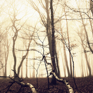 Morning fog in the forest of the Harburg Hills, Hamburg, Germany - MSF003506