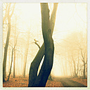 Morning fog in the forest of the Harburg Hills, Hamburg, Germany - MSF003508