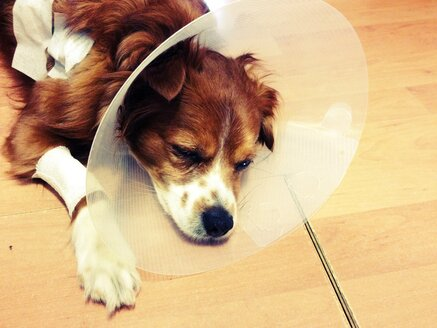 sick dog, king charles mix - RIMF000190